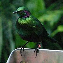 emeraldstarling.jpg.jpe