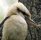 Kookaburra.jpg.jpe
