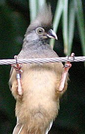 SpeckledMousebird.jpg.jpe