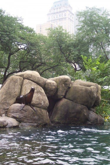Sea Lion in the City