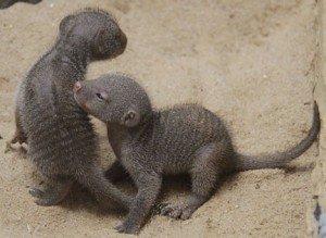 Baby-mongooses-7.3.13-300x219.jpg.jpe