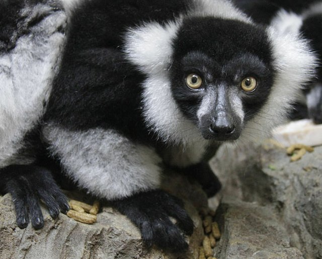 Black-and-white-ruffed-lemur1.jpg.jpe