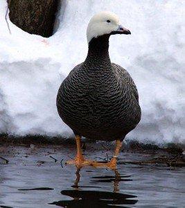 Emperor-Goose-1.26.16-267x300.jpg.jpe