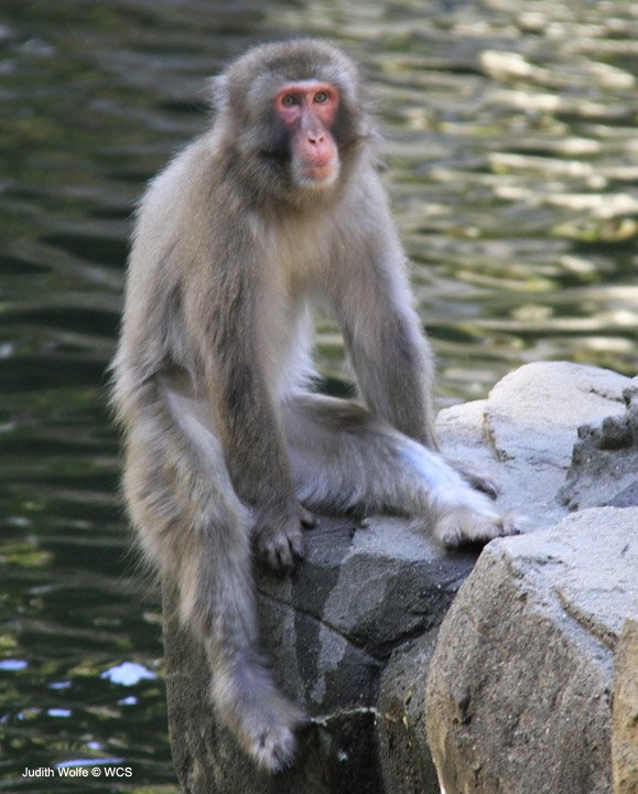 Japanese Macaque At The Central Park Zoo