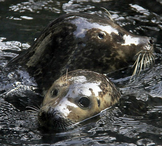Harbor Seals - Ansen and Adam.jpg