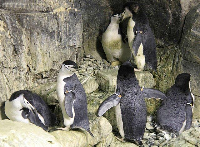 Penguins_Chinstrap .jpg