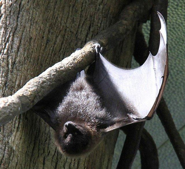 Rodriguez fruit bat.jpg