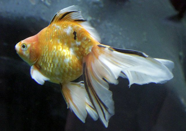 Goldfish_tisch zoo.jpg
