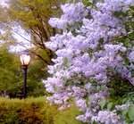 lilacs-spring.jpe