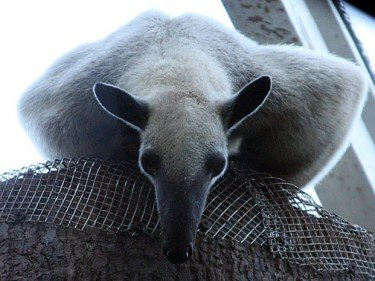 Pablo the Tamandua